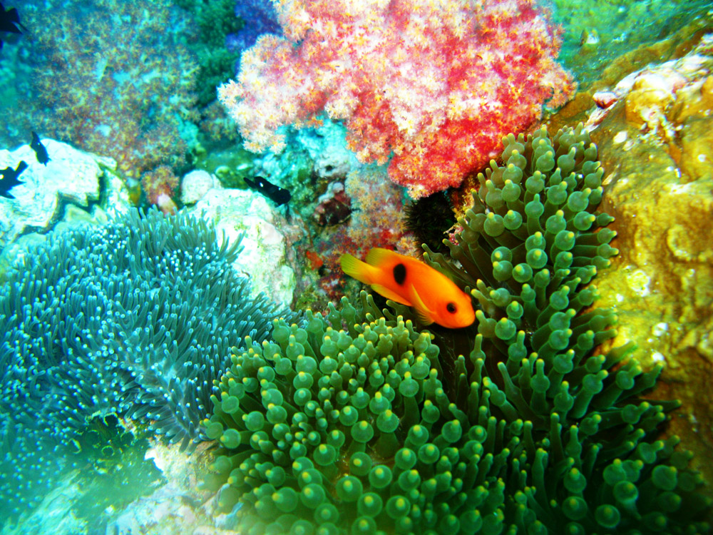 Anemone Reef Diving, Andaman Sea